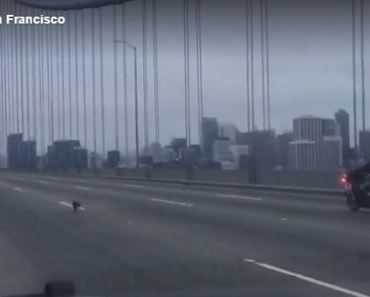 San Francisco Police Go On Low Speed Chihuahua Chase Across the Bay Bridge