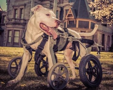 Pit Bull With Neurological Disease is Wheelchair Bound and Traveling the World