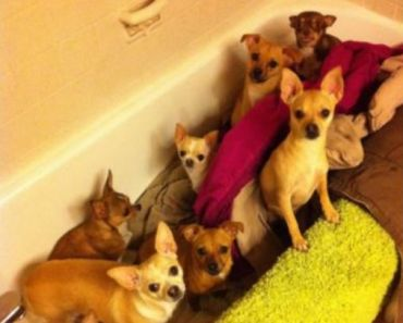 This Chihuahua Rescuer Does Something That Will Blow Your Mind