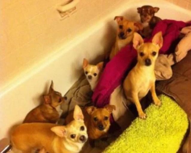Chihuahua Rescuer