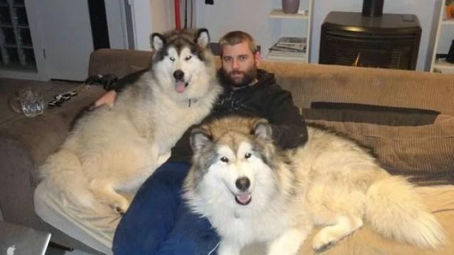 Giant Alaskan Malamute Duo