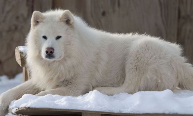 Giant Alaskan Malamute White Coat