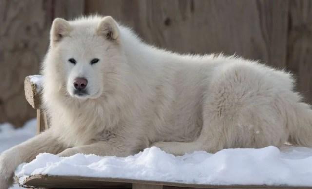 Giant Alaskan Malamute White Coat