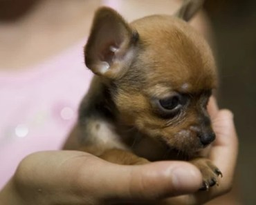 Teacup Chihuahua Dog Breed Information and Photos