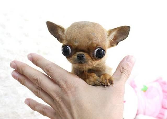 Teacup Chihuahua 2