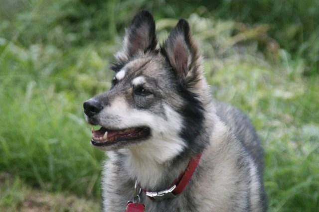German Shepherd Husky Mix 2