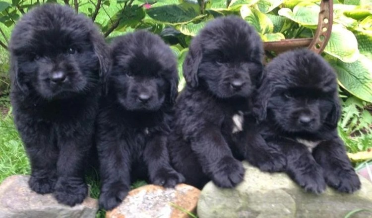 Newfoundland Puppies 1