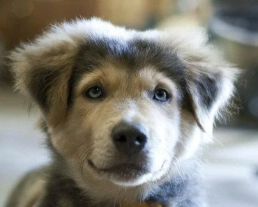 Golden Retriever Husky Mix: 5 Things You Didn't Know