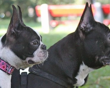 Boston Terrier vs French Bulldog: Comparing the Two Breeds