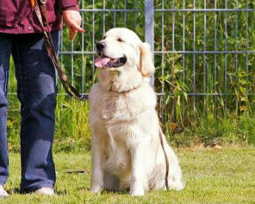 Golden Retriever Training: 7 Things You Need To Know