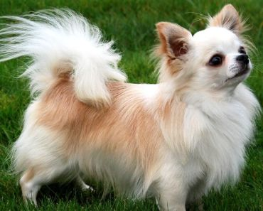 The Two Different Types of Chihuahua Dog Breeds