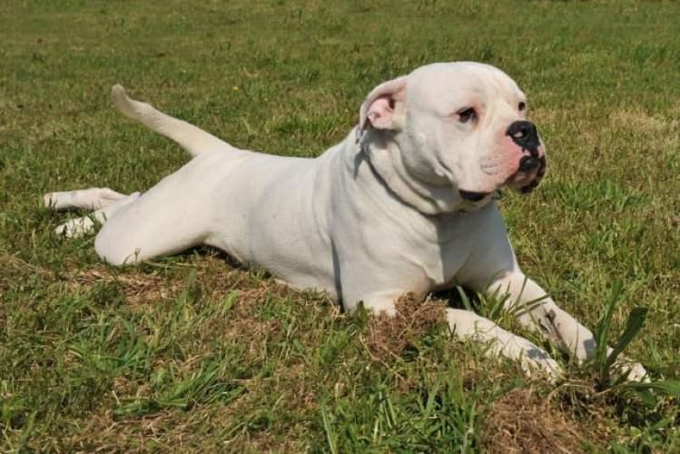 20 Dog Breeds Commonly Mistaken for Pit Bulls