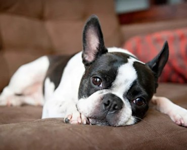 Seven of the Biggest Boston Terrier Myths to Avoid Believing