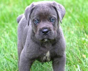 Seven Special Tips for Taking Care of Cane Corso Puppies