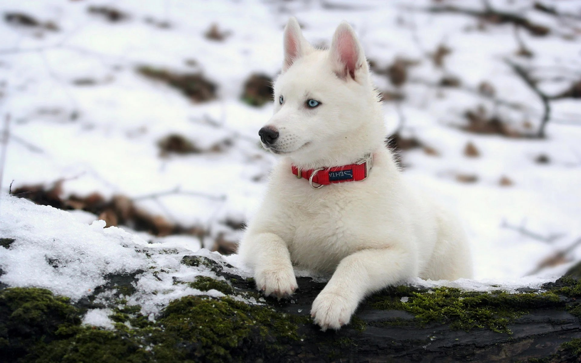 10 things you didn't know about the white siberian husky