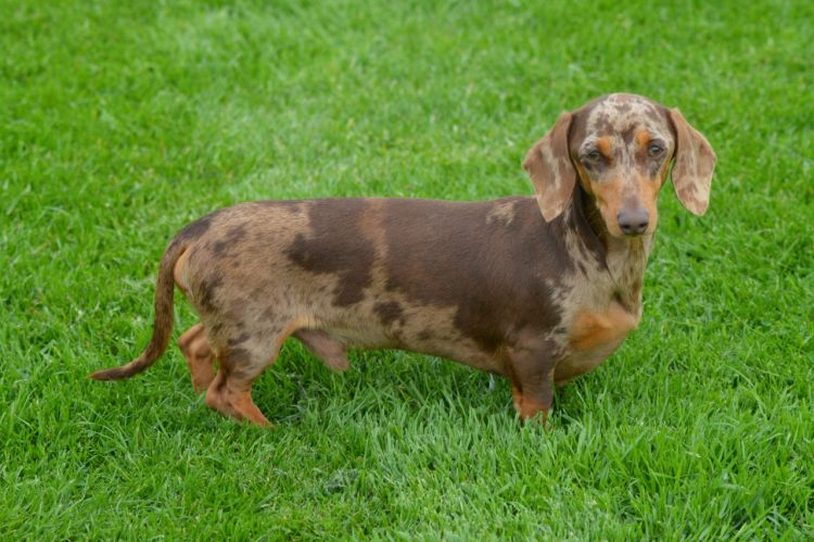 What Are The Coat Patterns Of The Dapple Dachschund