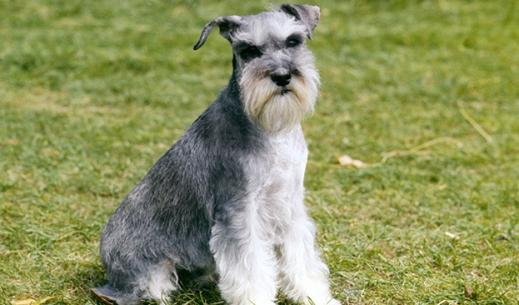 20 Things Only Schnauzer Owners Would Understand