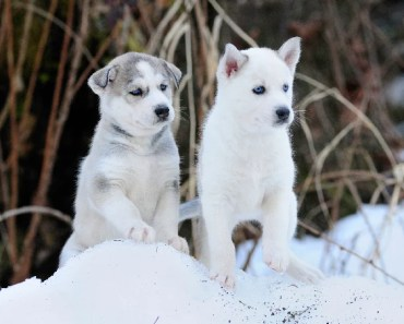 The Cutest Siberian Husky Puppy Videos of 2017
