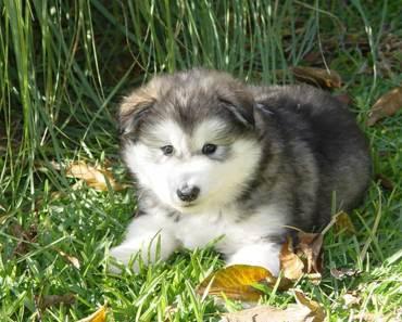 The Cutest Alaskan Malamute Puppies Videos of 2017