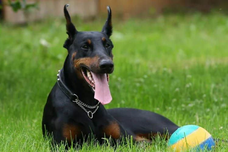 20 Things Only Doberman Pinscher Owners Would Understand