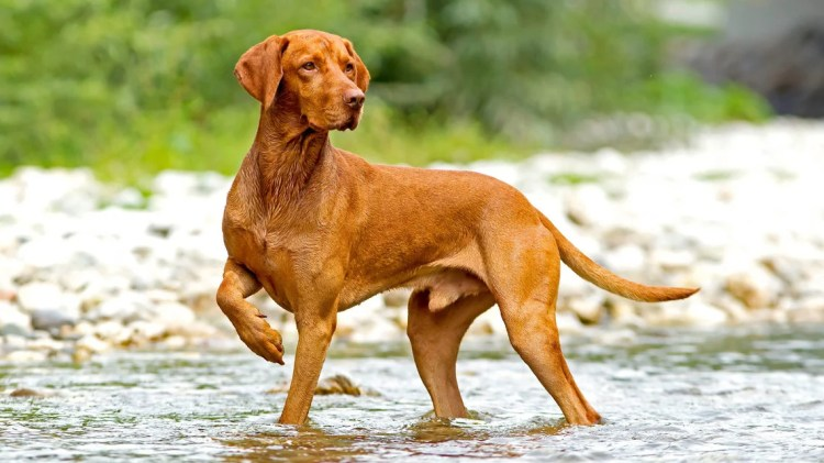 20 Things Only Vizsla Owners Would Understand