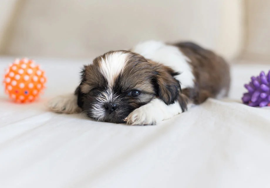 Dog Foods For Shih Tzu Pup