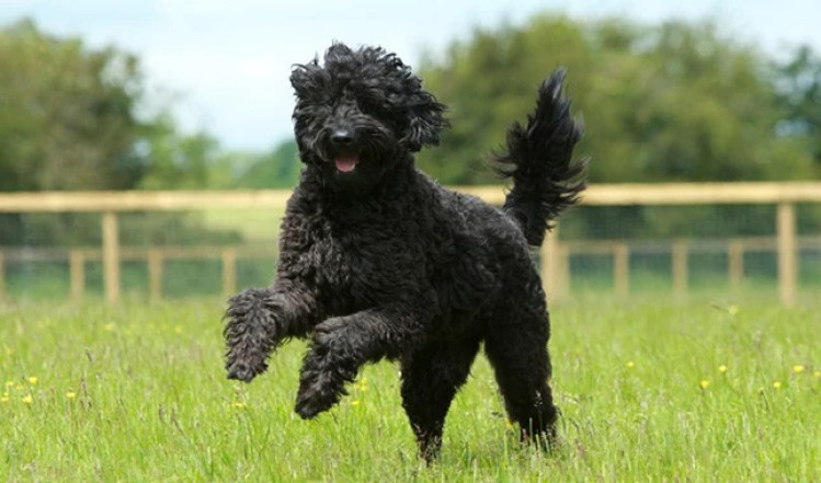 7 Things You Didn't Know about the Black Labradoodle > Puppy