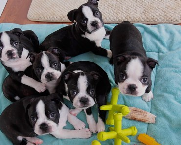 The Cutest Boston Terrier Puppy Videos of 2017