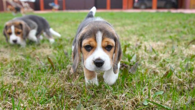 7 Things You Didn't Know about the Miniature Beagle