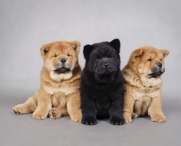 The Cutest Chow Chow Videos of 2017