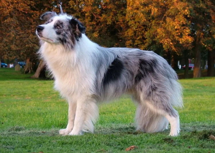 The Blue Merle Border Collie: 5 Things You Didn't Know