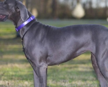 Seven Things You Didn't Know about the Blue Great Dane