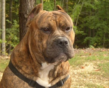 10 Things You Didn't Know about the Presa Canario