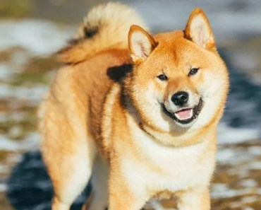 20 Cool Facts About The Shiba Inu Dog Breed