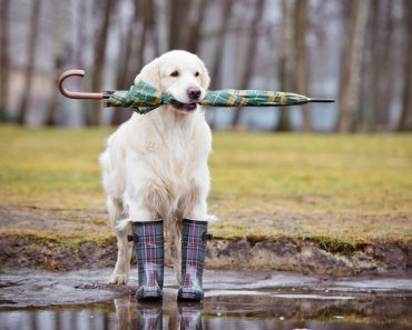 How Do You Train Your Dog for the Rain?