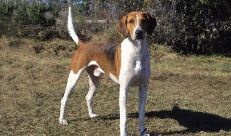 10 Things You Didn T Know About The American Foxhound