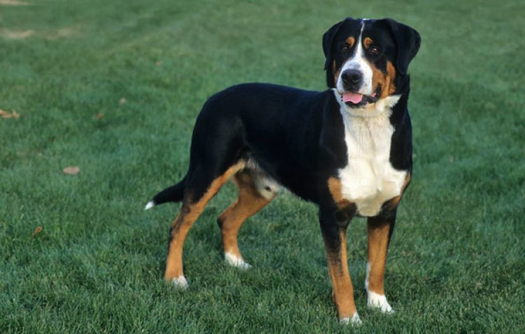 10 Things You Didnt Know About The Greater Swiss Mountain Dog