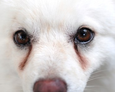 How Do You Get Rid of Dog Tear Stains?