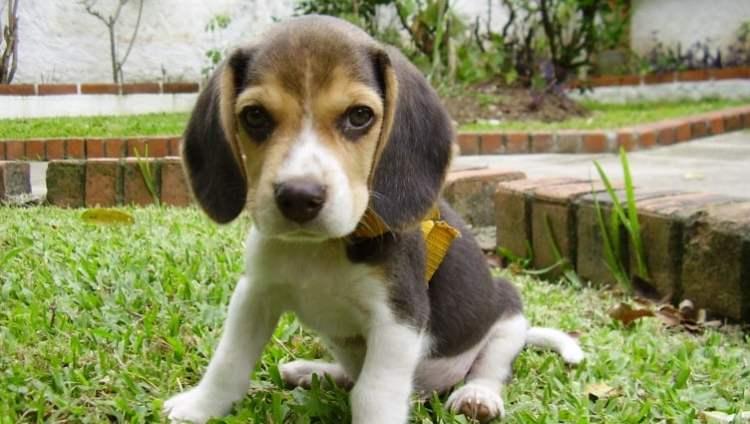 Beaagle puppy