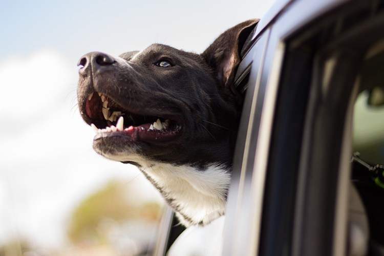 Dog sticking head out of a car