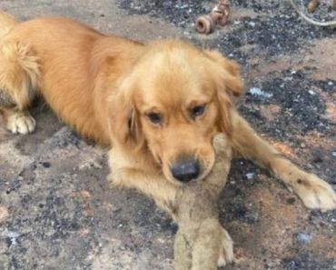 Golden Retriever Discovers His Favorite Toy Survived the Australian Fire