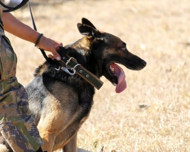 What Happens to K9 Dogs When They Retire?