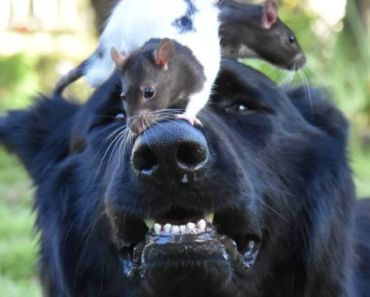 Giant Dog Goes Out of His Way to Keep a Rat Comfortable