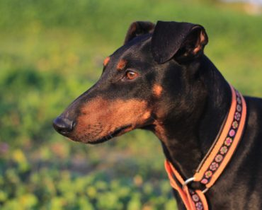 10 Things You didn't Know about The Manchester Terrier