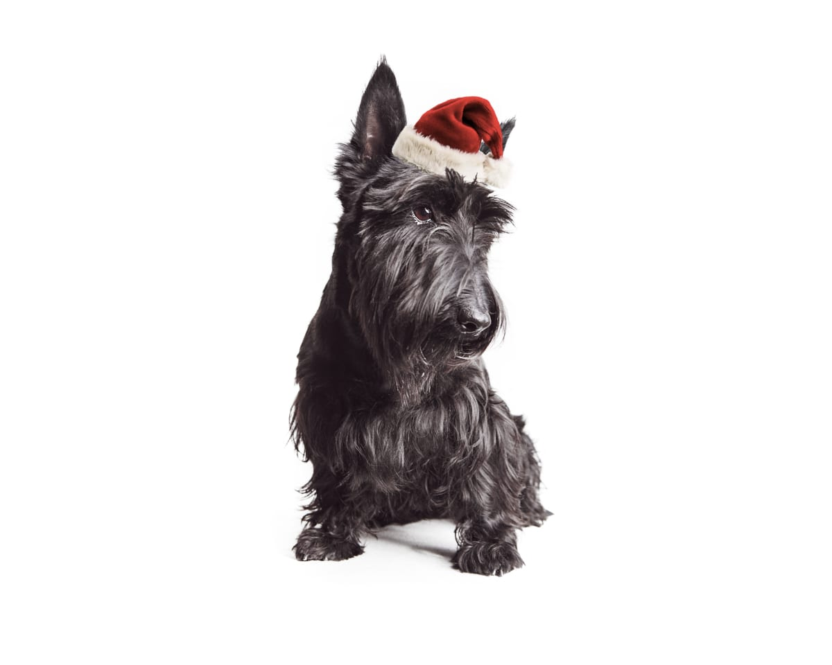 scottish terrier wearing Santa hat