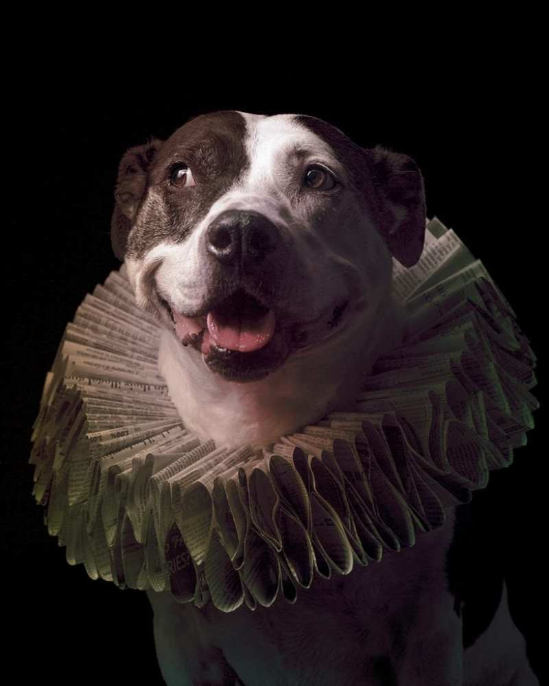 A pitbull wearing an Elizabethan style ruff collar made from newspaper