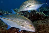 bluefin trevally / 'omilu