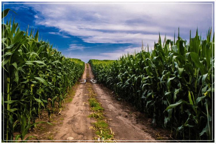 lahan budidaya jagung