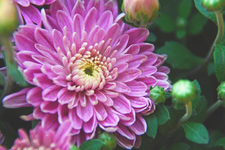 cara menanam bunga seruni