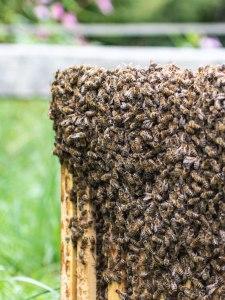Allgäuer Bienen